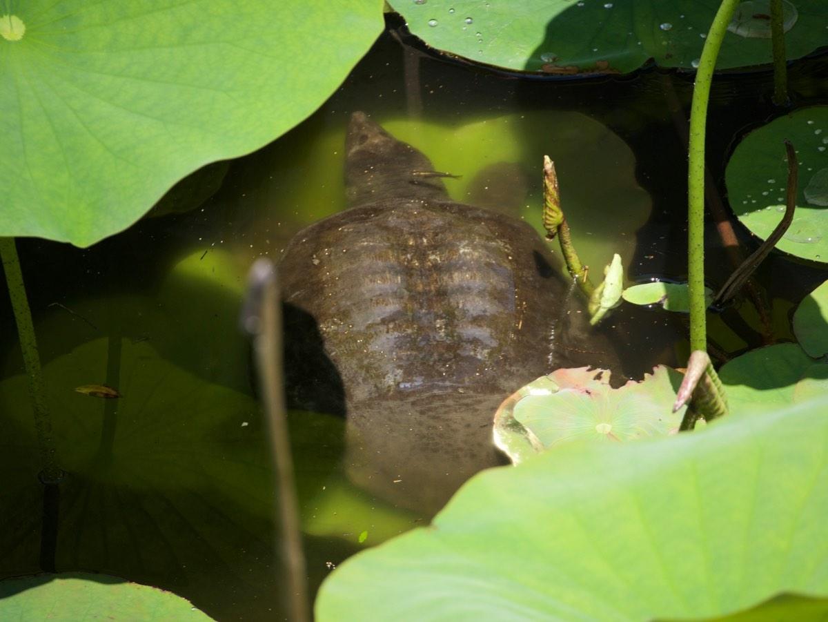 Kilpikonna temppelin lammessa.