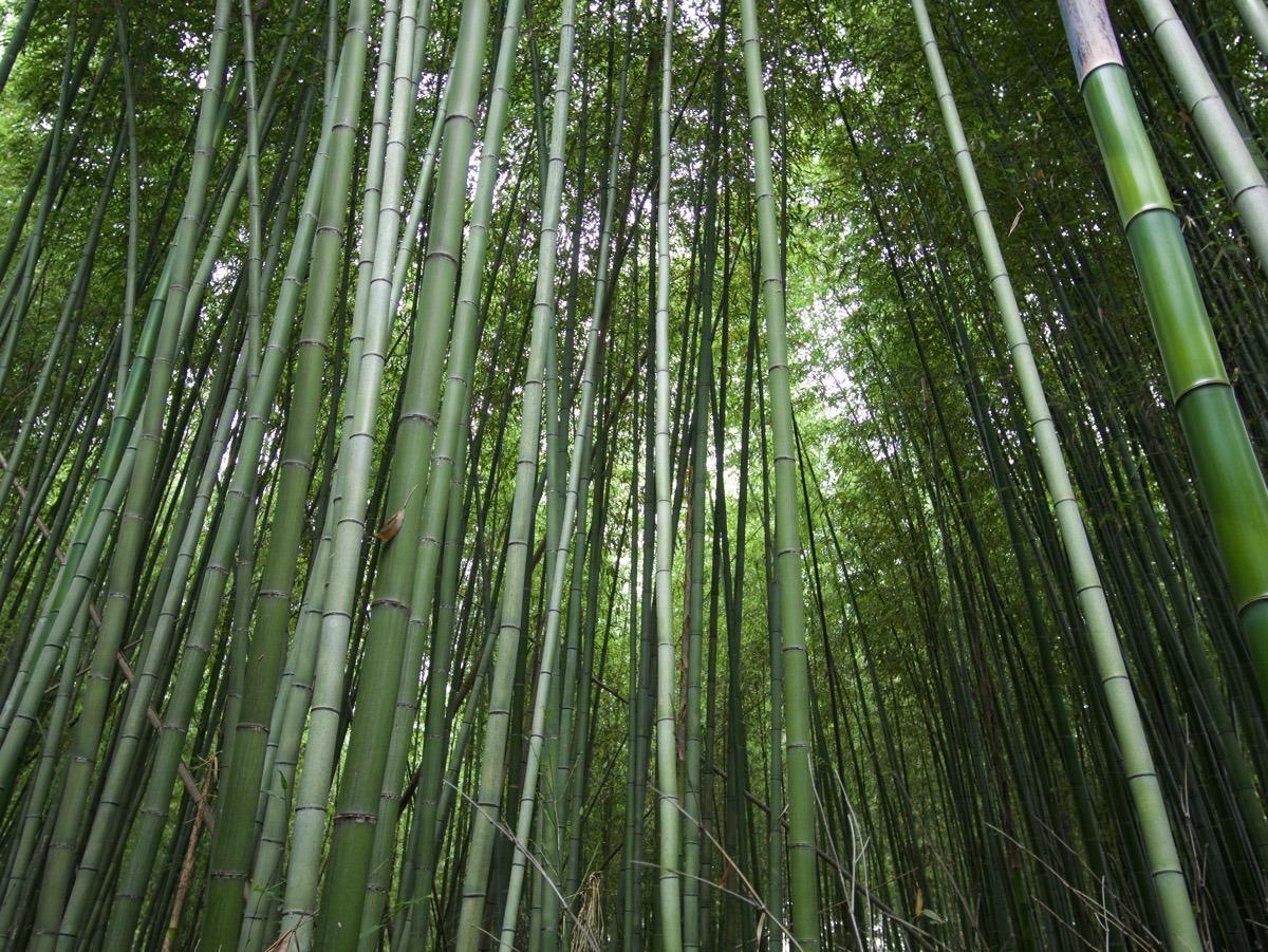 Arashiyaman bambumetsä.
