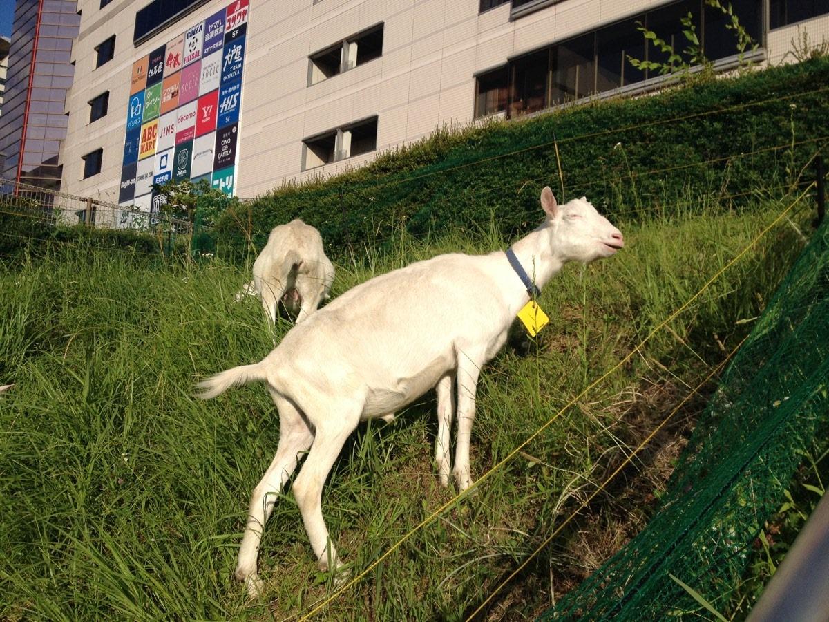 Vuohia Keio Plaza Hotel Taman vieressä.